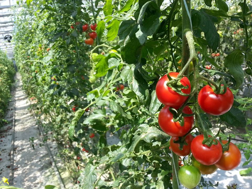 kenji-tomato