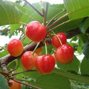cherry-satonishiki