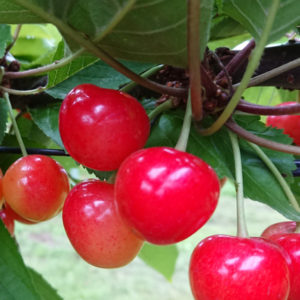 cherry-satonishiki&blueberry